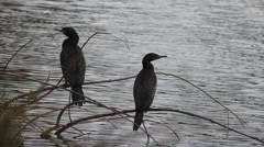 Male and female Black Cormorant sit on a water plant Stock Footage
