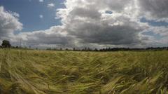 Summer end barley field in wind.  4K Stock Footage