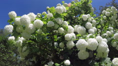 Beautiful viburnum snowball tree blossoms in spring wind. 4K Stock Footage