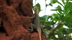 African lizard sitting on a large termite hill in Ghana. Stock Footage