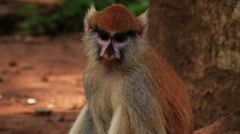 Stock Video Footage of African monkey chained to a tree.