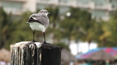 Seagull sitting on a post. Stock Footage