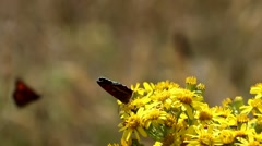 2 Meadow Brown Butterflies on Ragwort Stock Footage