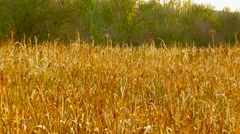 Couple On The Field Of Millet Stock Footage