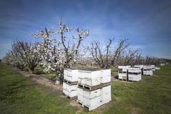 Beehives near cherry trees on farm Stock Photos