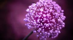 Onion (Allium cepa) Flower, Purple Background - stock footage