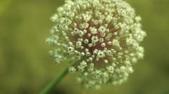 Onion (Allium cepa) Flower, Green Light Background - stock footage