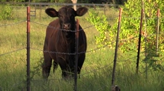 Small black calf cow in field looking through barbwire Stock Footage