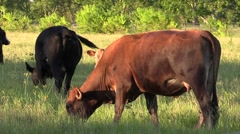 Cows in a field and barbwire eating grass and grazing - stock footage