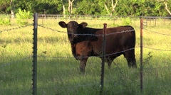 Black calf cow in field and barbwire walk off - stock footage
