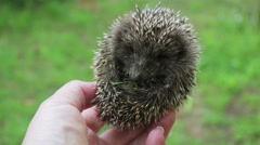 Little hedgehog in a hand Stock Footage