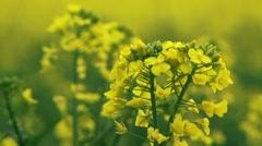 Beautiful Yellow Raps Stock Footage