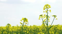 Flowers Of Rapeseed Stock Footage