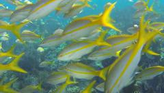 Coral Reef, Large school of Yellowtail Snapper Stock Footage