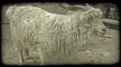 Mountain goat. Vintage stylized video clip. Stock Footage