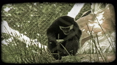 Monkey eats greens. Vintage stylized video clip. Stock Footage