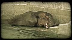 Hippo leaves water. Vintage stylized video clip. Stock Footage