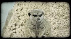Lemur on ledge. Vintage stylized video clip. Stock Footage