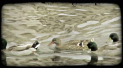 Ducks Paddle 1. Vintage stylized video clip. Stock Footage