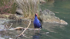 Pukeko swamp bird native to New Zealand Stock Footage