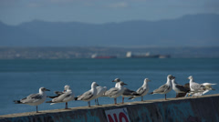Two clip combo of multiple Seagulls sitting on a wall Stock Footage