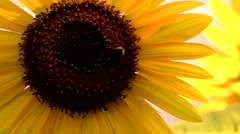 Sunflower close up with bee and sound in wind Stock Footage