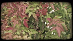 Close up of berry bush with leaves. Vintage stylized video clip. Stock Footage