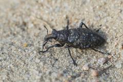 True weevil - Coniocleonus hollbergi - stock photo