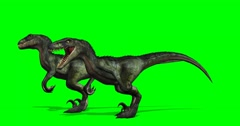 Velocirapor Dinosaurs standing and roars   - 4K green screen Stock Footage