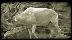Addax Antelope in zoo. Vintage stylized video clip. Stock Footage