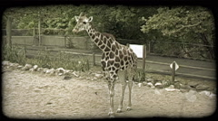 Giraffe chews on food. Vintage stylized video clip. Stock Footage