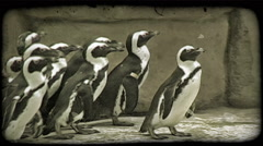 Penguins waddle along walkway. Vintage stylized video clip. Stock Footage