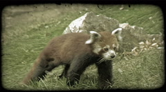 Red Panda walks on grass. Vintage stylized video clip. Stock Footage
