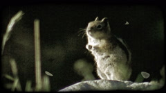 Squirrel on rock. Vintage stylized video clip. Stock Footage