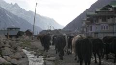 Farmer with cattle return to village,Chitkul,Kinnaur,India Stock Footage