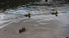 Ducklings swimming in a lake Stock Footage