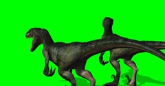 Velocirapor Dinosaurs roars - 4K green screen Stock Footage