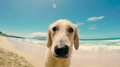 Golden Retriever Beach Close Up Stock Footage