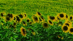 Group Of Sunflowers Stock Footage