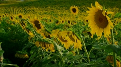 Smells aroma of a sunflower Stock Footage