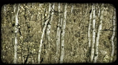 Aspen tree trunks. Vintage stylized video clip. Arkistovideo