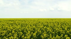 Insects Pollinate Canola Stock Footage