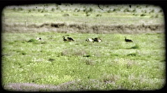 Geese on a field with flowers. Vintage stylized video clip. Stock Footage