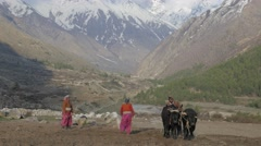 Ploughing of paddy with snow capped mountains,Chitkul,Kinnaur,India Stock Footage