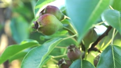 Red unripe pears on tree branch in the garden Stock Footage