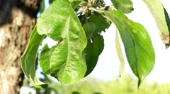 Unripe green apples on a tree branch in the garden - stock footage