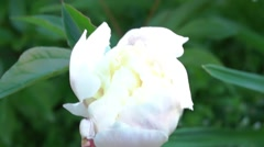 Stock Video Footage of Summer day in the garden - flower white peony