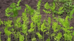 Carrot tops on a bed in kitchen garden Stock Footage