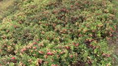 Ripe norganic lingonberries grow in the garden outdoor Stock Footage