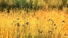 Dry brown native grass blowing in a gentle breeze. Stock Footage